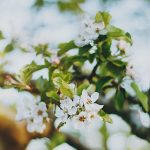 apple tree blossom in the morning light hellip Continuehellip